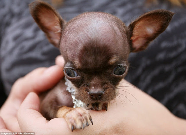 World's Smallest Dog, Milly the Chihuahua, tiny chihuahua, puniest pooch, Puerto Rico, smallest pooch on earth, World's tiny chihuahua, World's puniest pooch, world's smallest dog 2012, world's smallest dog ever, breed, boo boo, guinness world record, oprah, lucy, world's smallest puppay, world's tinyest dog ever, Chihuahua picture, images of Milly the Chihuahua, Smallest dog in the world 2012, Milly pictures, Milly photos, world's smallest dog breed, world's smallest dog 2013