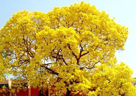 Flor de Ipê