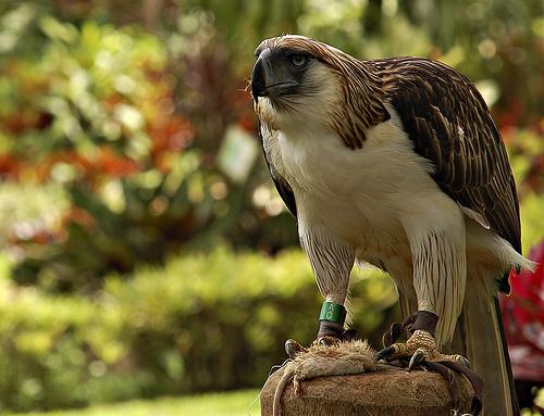 Make It Davao Philippine Eagle King Of Philippine Skies