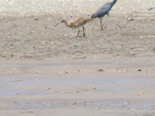 Whimbrel and Little Blue Heron