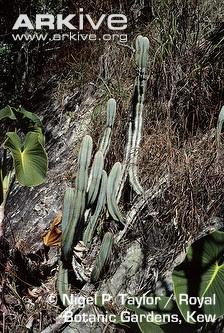 cactus Cipocereus laniflorus