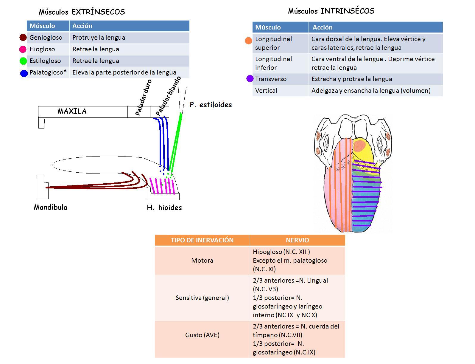 Anatomía UNAM: LENGUA