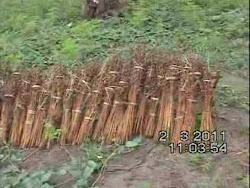 cultivo de gergerim