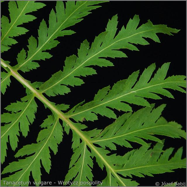 Tanacetum vulgare leaf - Wrotycz pospolity liść