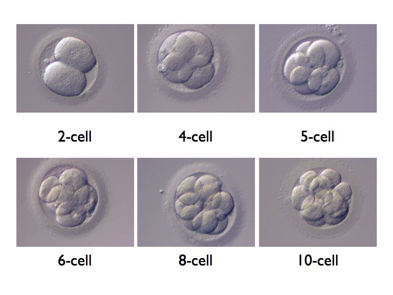 cell cell interaction in embryo development Cell–cell interaction refers to the direct interactions between cell surfaces that  play a crucial role in the development and function of multicellular organisms.