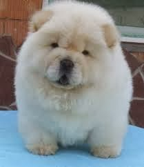 Anjing Chow Chow, Cara Merawat Anjing Chow Chow