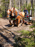 Sap gathering the old fashion way with horse drawn sled and buckets, Stonewall Farm Keene New hampshire