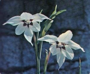 Piante e fiori acidanthera for Fiori perenni pieno sole