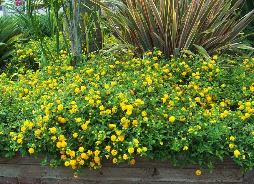 The 2 Minute Gardener Photo New Gold Lantana Lantana