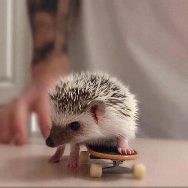 funny animal pictures, hedgehog plays skateboard