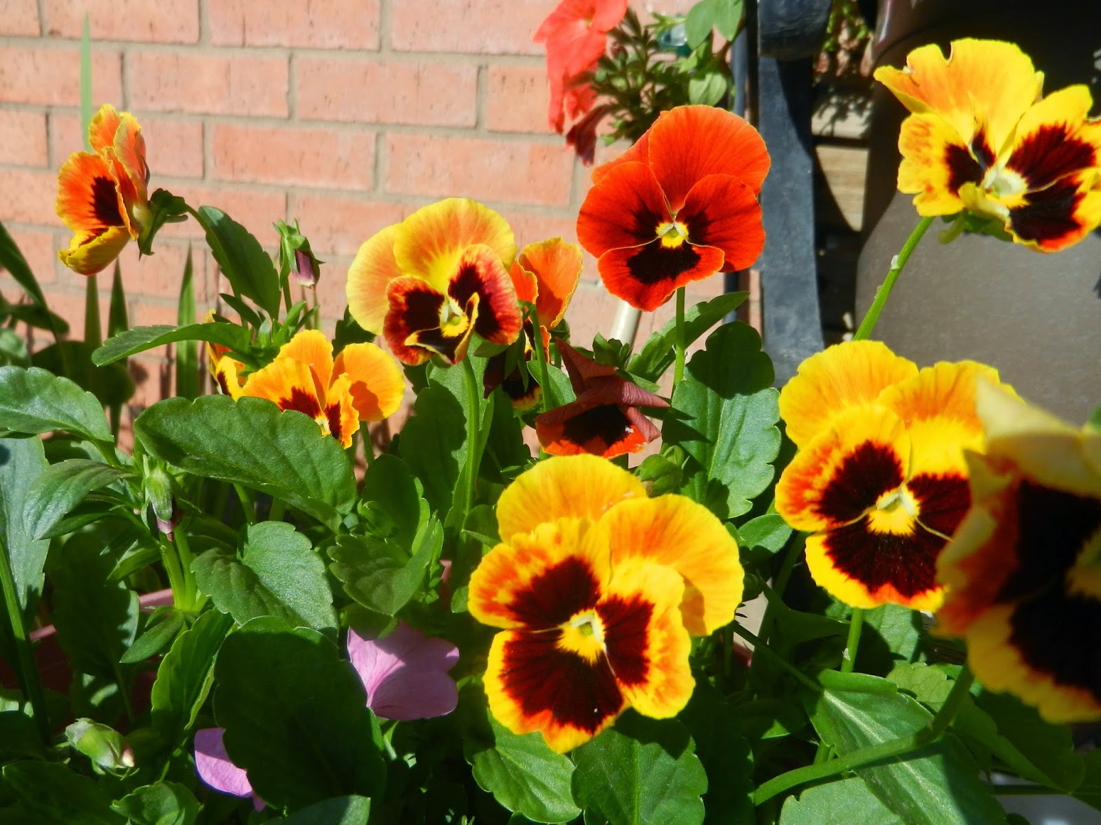 orange red pansies