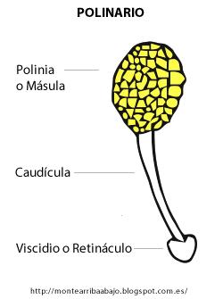 Estructura del Polinario de Serapias