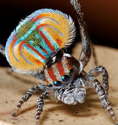 Salticidae, arañas, arañas saltadoras, saltícidos, arañas saltarinas, Maratus volans,