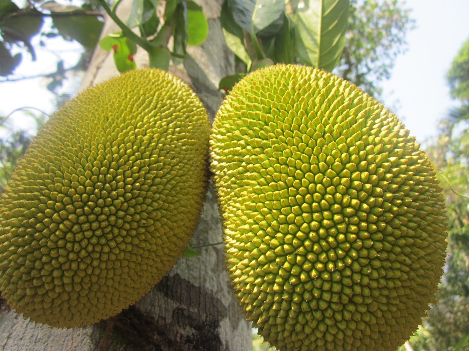 jackfruit vs durian  ways they are not the same, Natural flower