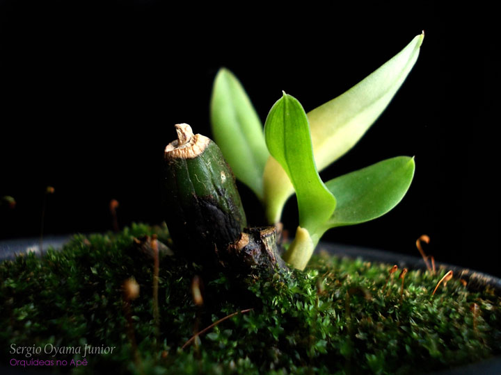 Backbulb de Sophrolaelia Orpetii