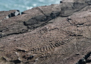 Fossil at Mistaken Point