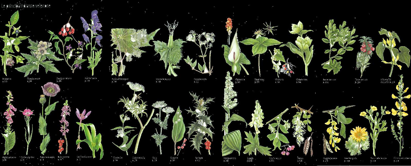 Mani nella terra le piante spontanee in cucina e per la for Piante velenose per i cani