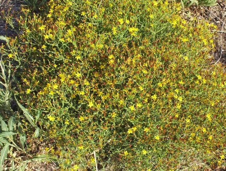 Hypericum triquetrifolium, flavonoids, reductive ability, antioxidant activity, iraq, medicinal plant, biodiversity