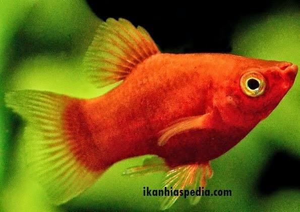 Si Ikan Tongkol: 5 Jenis Ikan Hias Air Tawar yang Mudah ...