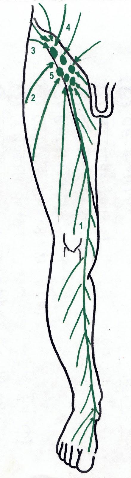 El Drenaje Linfático Manual: Anatomía Linfática del Miembro Inferior