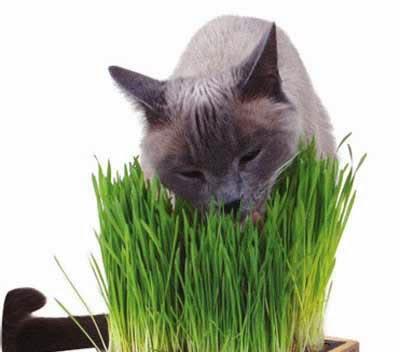 Gatti canada la pubblicit per gatti aromatizzata all for Erba per gatti