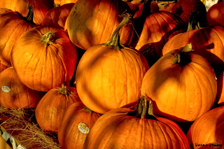 A photograph of the main pumpkin patch at The Little Farm, in Miami, Florida.