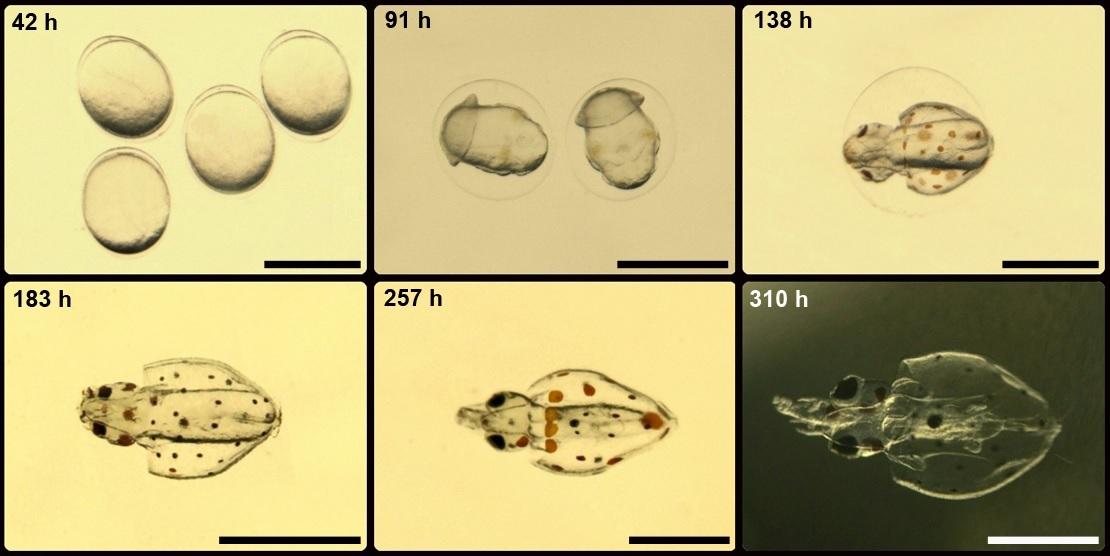 La Biothèque: Las primeras etapas de vida de los calamares oceánicos ...