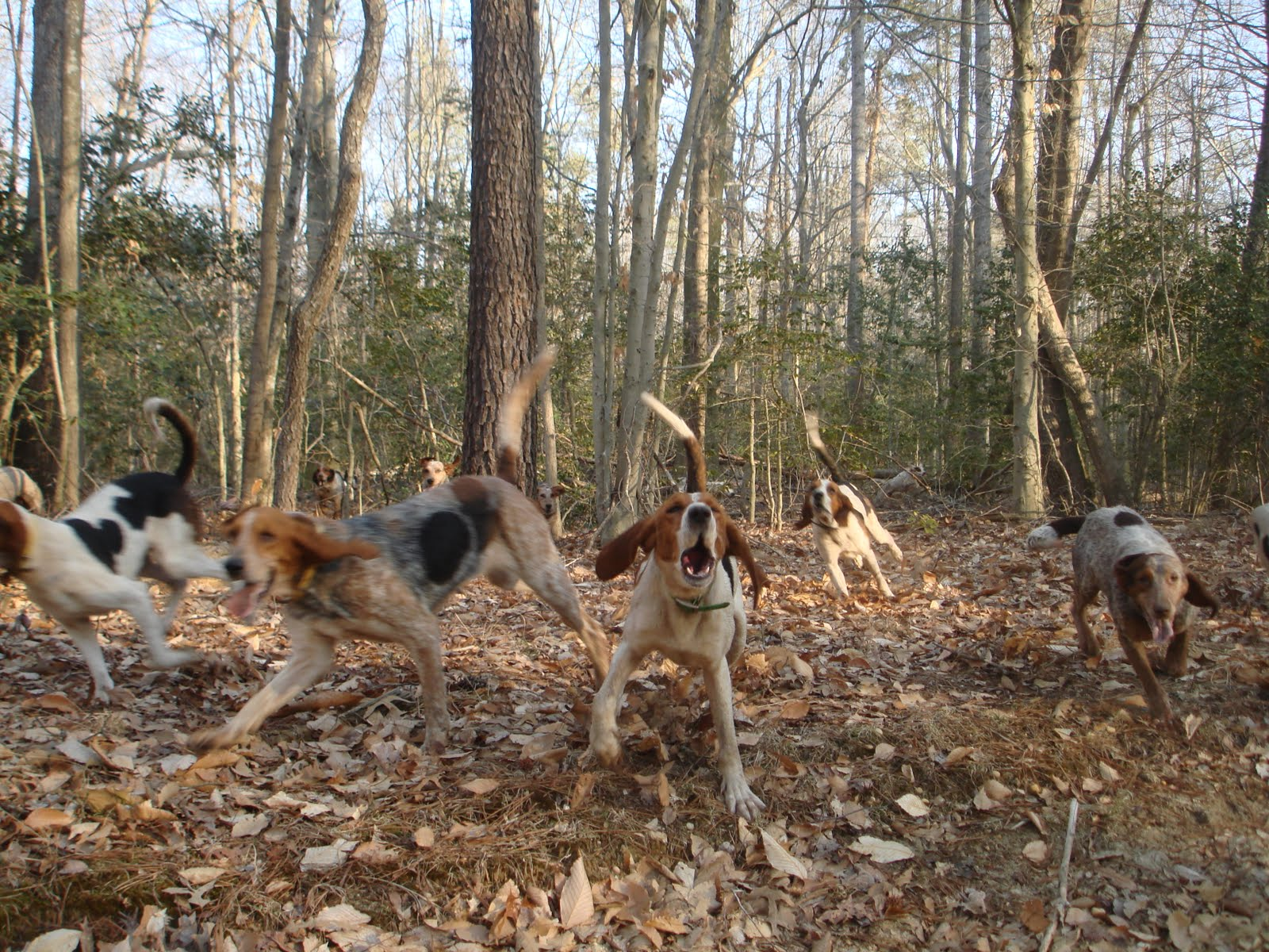 Deer Hunting with Dogs