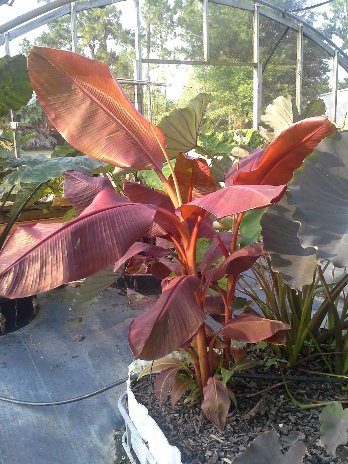 unforeseen river musa siam ruby banana tree