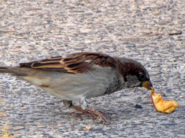 House Sparrow eating Fruit
