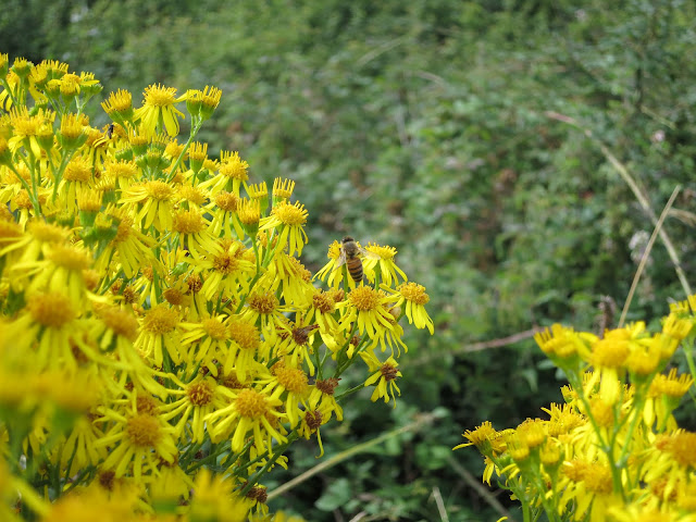 Ragwort beside Portland Harbour (Dorset)