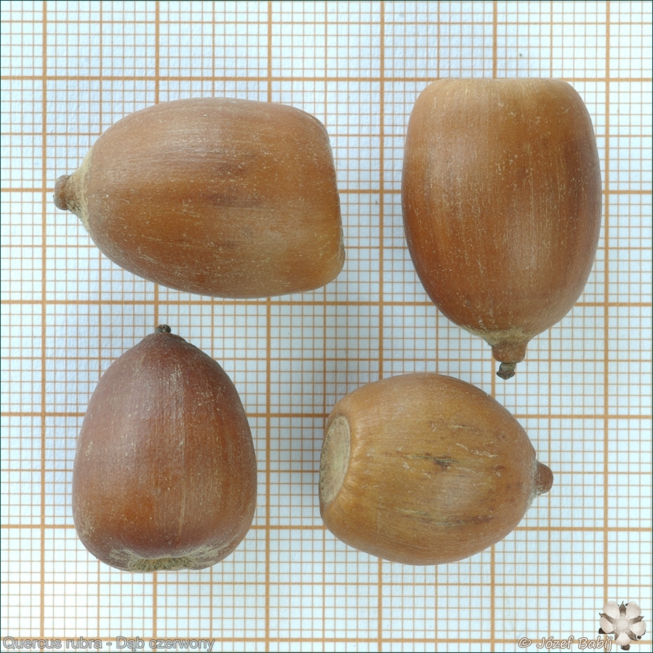 Quercus rubra seeds - Dąb czerwony nasiona