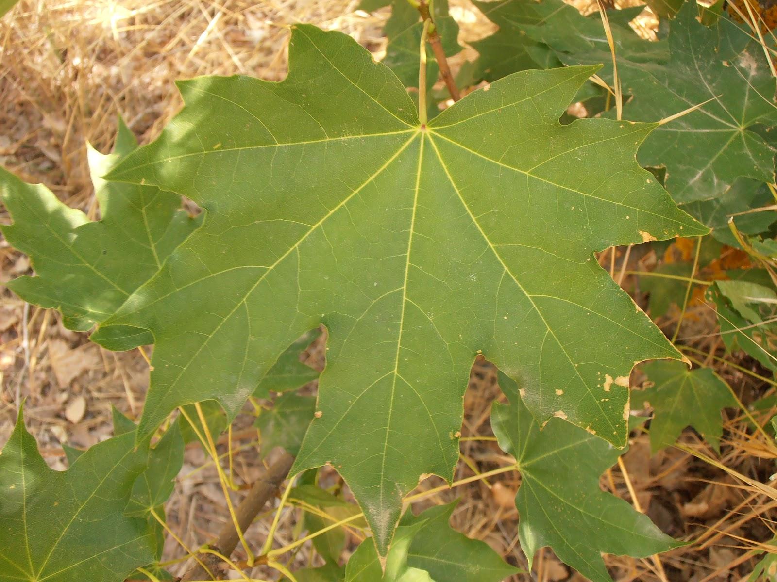 Arce real acer platanoides plantas riomoros - Arce arbol variedades ...