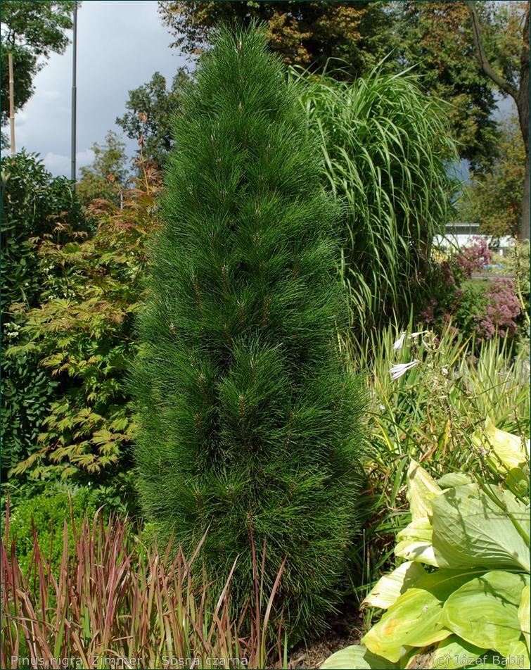 Pinus nigra 'Zimmer' habit - Sosna czarna 'Zimmer'  pokrój