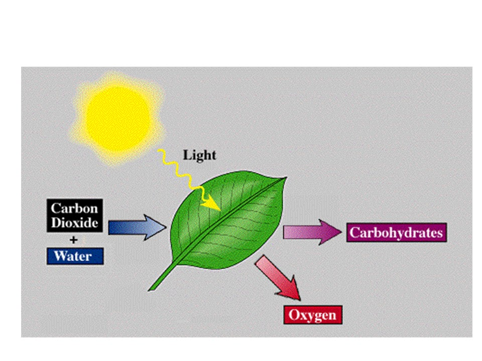 Biology energy transfer through food energy transfer through food ccuart Image collections