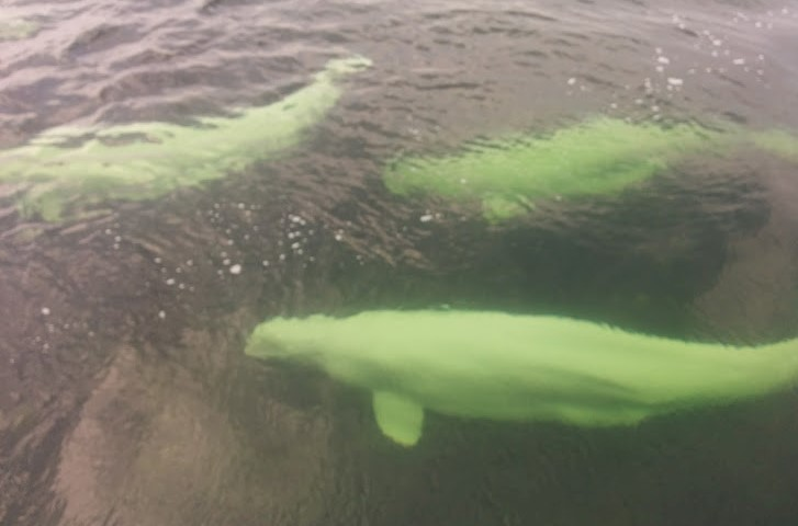Swimming With Belugas