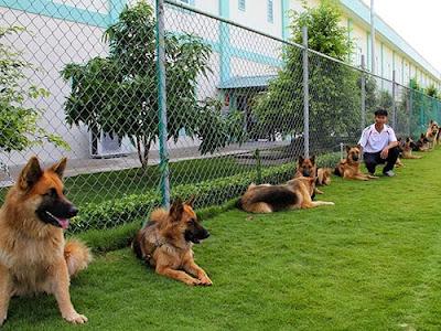 Huấn luyện chó tại Trung tâm Huấn luyện và Sử dụng chó nghiệp vụ 911 (quận 4)