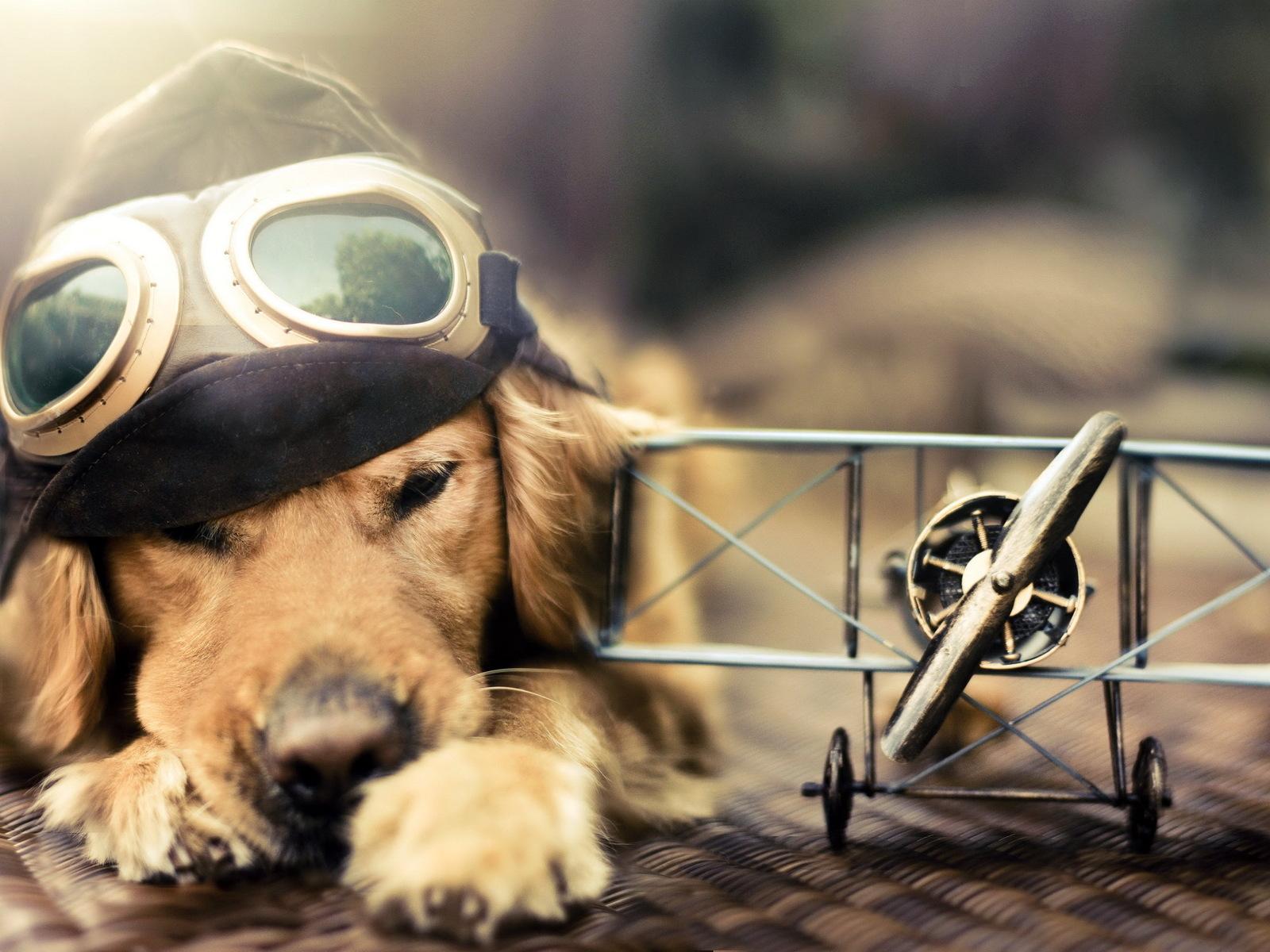 funny aviator dog hd desktop wallpaper