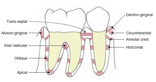 Development and Structure of the Periodontal Ligament