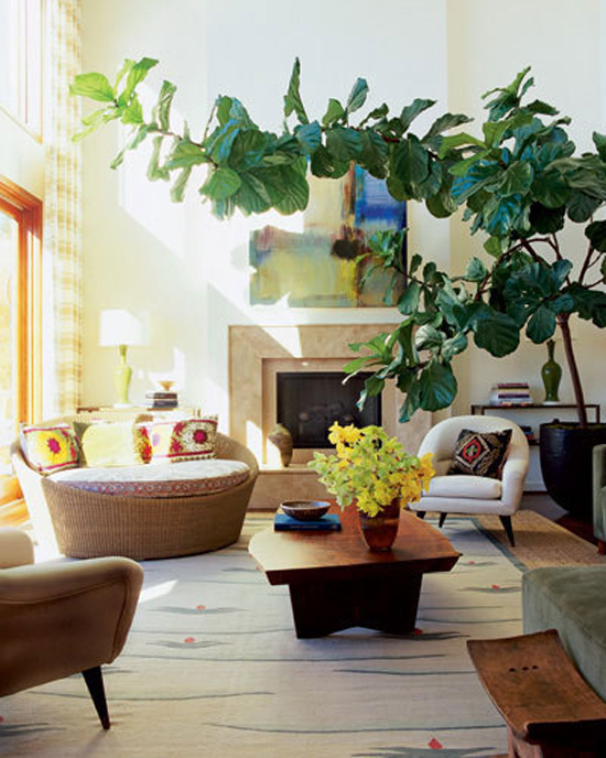 For a song the fiddle leaf fig ficus pandurata Large living room plants