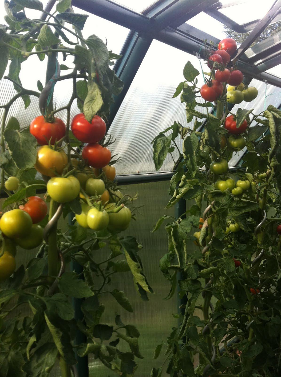 tomaten im gew chshaus schmiddies gartenblog. Black Bedroom Furniture Sets. Home Design Ideas