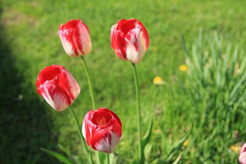 punavalkoinen tulppaani