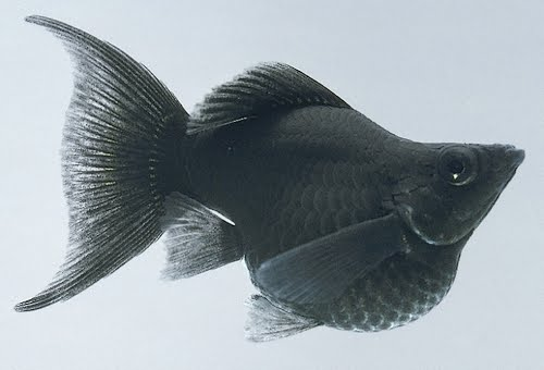 Black molly fish for Black molly fish