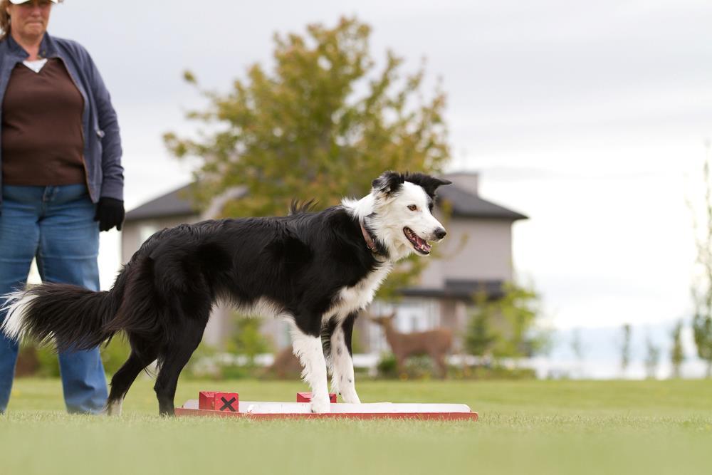 Dog Runs Away In Show Ring