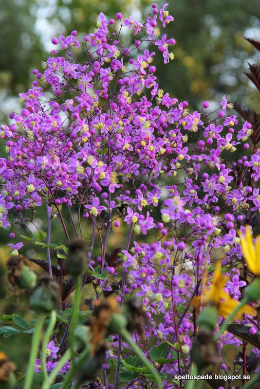 Thalictrum sp. Kina