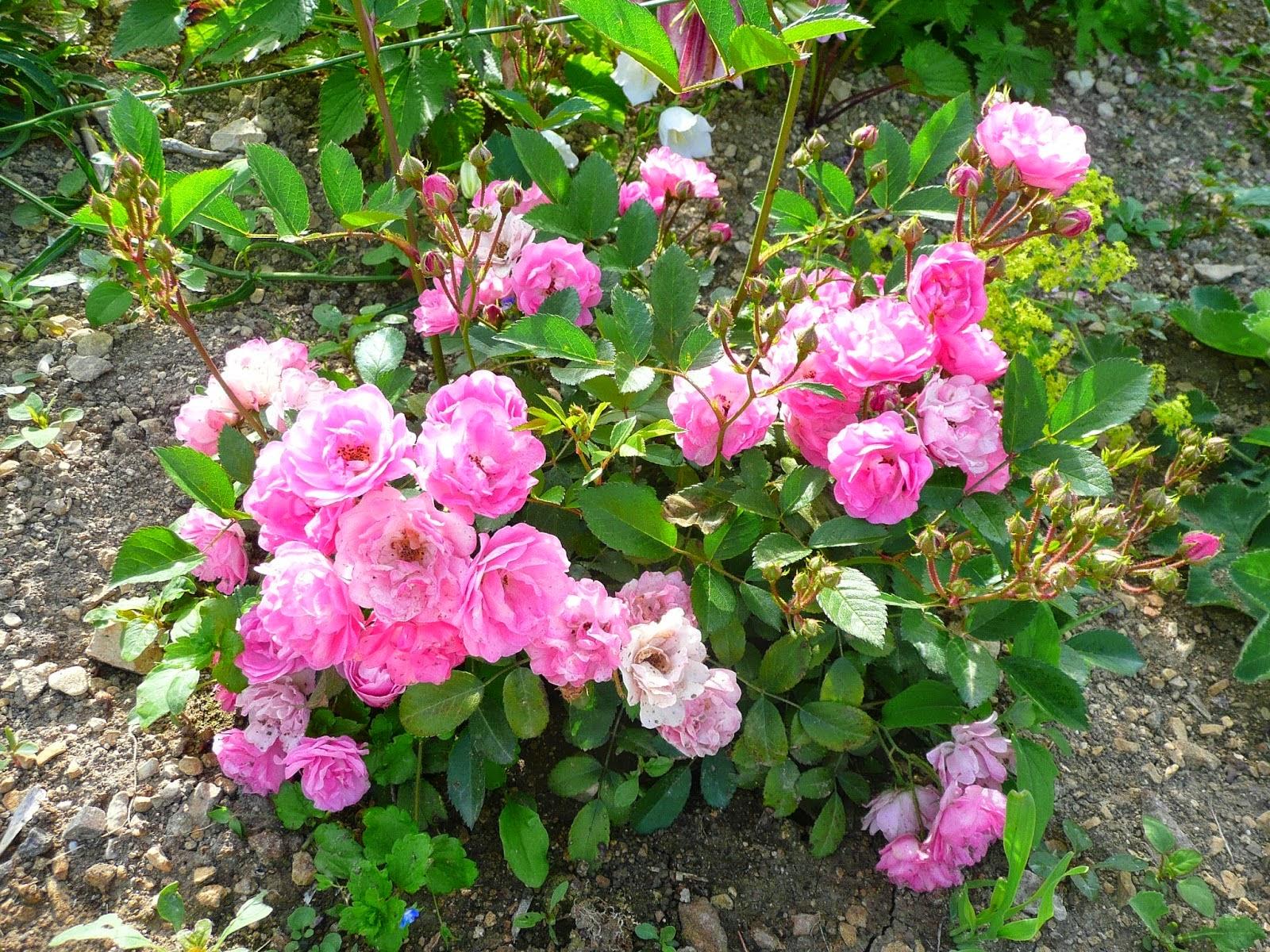 Derri re les murs de mon jardin l automne des nouveaux rosiers 2 - Derriere les murs de mon jardin ...