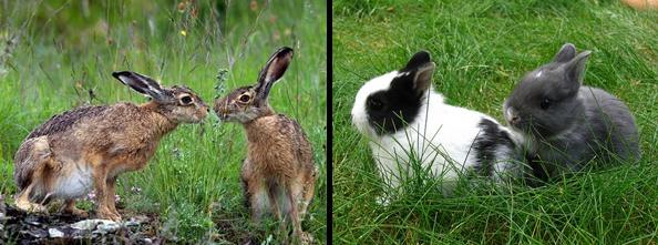 Hare vs jackrabbit - photo#12