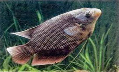 Cara meningkatkan hasil panen budidaya pembesaran ikan gurami