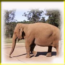 gajah_asia_2