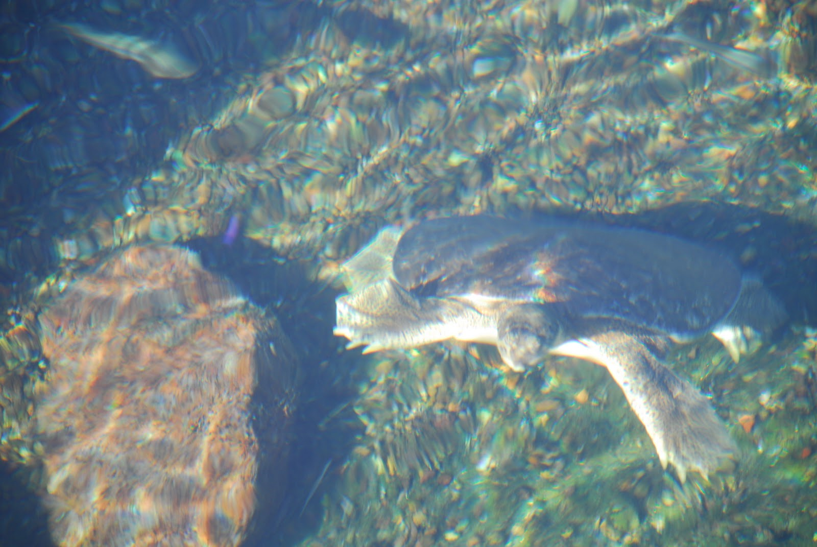 A Softshell Turtle From The C